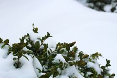 Green leaves frozen in the snow Stock Photo