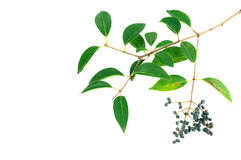 Green leaves and fruit. Ligustrum tree leaves and fruit Stock Images
