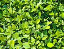 Green leaves. Full of green leaves background Royalty Free Stock Images