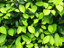 Green leaves. In the garden Stock Image