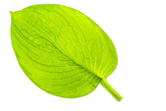 Green leaves of garden plant isolated Isolated on white backgrou Royalty Free Stock Image