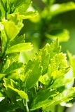 Green leaves of garden plants from hedge. Focus on the green leaves of some garden plants from a hedge, with blurred background Royalty Free Stock Image