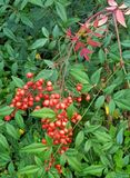 Red berries. Green leaves garden plants nature stock image