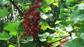 Between the green leaves in the garden the wind swaying clusters of bright red currants. Sprigs large, ripe red currant among the green foliage in Midsummer in stock video