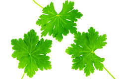 Green leaves of geranium. Photographed on a white background Stock Images