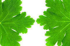 Green leaves of geranium. Photographed on a white background Stock Photography