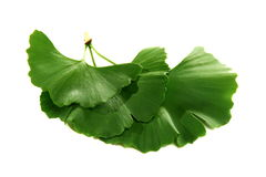 Green leaves of Ginkgo. Royalty Free Stock Photo