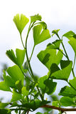 Green leaves of Ginkgo Biloba Royalty Free Stock Images