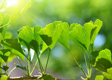 Green leaves of Ginkgo Biloba. Detail branches with green leaves of Ginkgo Biloba Stock Image