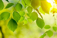 Green leaves glowing Royalty Free Stock Photography