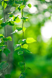 green leaves glowing in sunlight Royalty Free Stock Photos