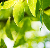 Green leaves glowing in sunlight Royalty Free Stock Photo