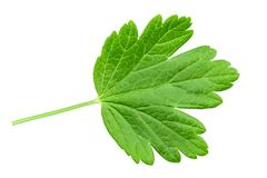 Green leaves of gooseberry, isolated on white background stock photo