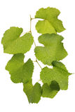 Green leaves of grape Stock Photos
