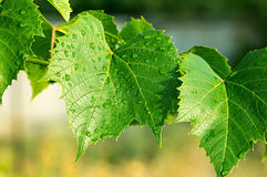 Green leaves of the grape Stock Photography