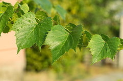 Green leaves of the grape Royalty Free Stock Photos