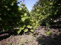 Green leaves of the grape tree. Sunlight illuminates the leaves. Details and close-up. stock footage