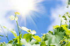 Green leaves of grapes on a background of blue sky Stock Photo