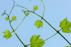 Green leaves of grapes on a background of blue sky Royalty Free Stock Image