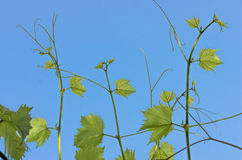 Green leaves of grapes on a background of blue sky Royalty Free Stock Photo