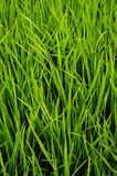Green leaves grass Sprout Crops  background Stock Photo