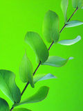 Green leaves on green. Green leafy branch over green background. With copy space Royalty Free Stock Photography