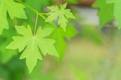 Green leaves with green background Royalty Free Stock Images