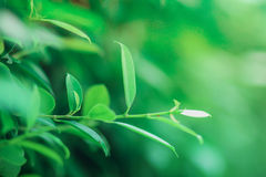 Green leaves on the green backgrounds Royalty Free Stock Photo