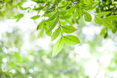 Green leaves on green bokeh sunshine background Stock Photos