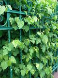 Green Leaves and Green Fence Royalty Free Stock Image