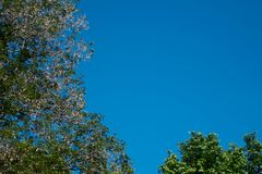 Green leaves or green tree background with blue sky background Royalty Free Stock Photos