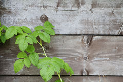Green leaves on grey old wooden backgorund. Green leaves on grey old wooden planks backgorund Royalty Free Stock Photography