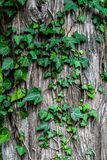 Green Leaves on Grey Tree Trunk Royalty Free Stock Photos