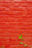 Green Leaves grow on red wall background Stock Photography