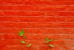 Green Leaves grow on red wall background Royalty Free Stock Image