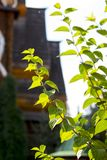 Green leaves on a growing Bush. The bright sun rays stock photos