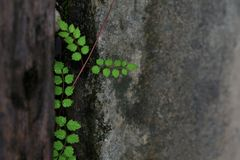 Green leaves are growing in the niche of the dirty cement wall, for the background stock images