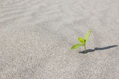 Green Leaves Growing On Tree Trunk. Green Leaves Growing on sand. Sprouting in desert climate royalty free stock photos