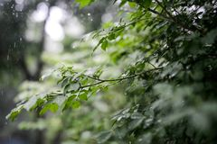 Green leaves growing in summer time during rain. A group of leaves growing on a tree while it is raining in the summer. Nice background bokeh. Sharp image. The Stock Photos