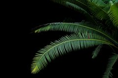 Green leaves of gum palm or giant dioon & x28;Dioon spinulosum Dyer& x29; Royalty Free Stock Images