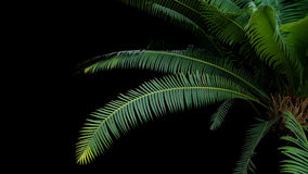 Green leaves of gum palm or giant dioon Dioon spinulosum Dyer Stock Images