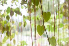 Green leaves hanging in home garden Royalty Free Stock Images