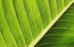 Green leaves have beautiful stripes as the background.  Royalty Free Stock Photography