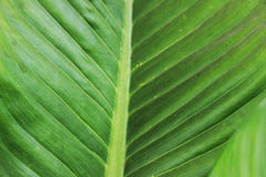 Green leaves have beautiful stripes as the background.  Royalty Free Stock Photo