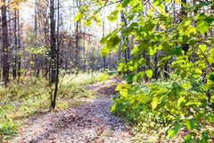 Green leaves of hazel tree and path in urban park Royalty Free Stock Photos