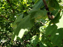 Green leaves hazel in the woods. Green leaves hazel in the forest, Corylus avellana stock photo
