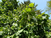 Green leaves hazel in the woods. Green leaves hazel in the forest, Corylus avellana stock image