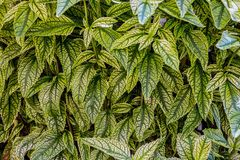 Green leaves of Heliopsis helianthoides royalty free stock images