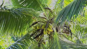 Seychelles. Praslin Island. Leaves of high palm sway in the wind. The fruits of tropical fruits grow on the tree. Green leaves of high palm sway in the wind. The stock video footage