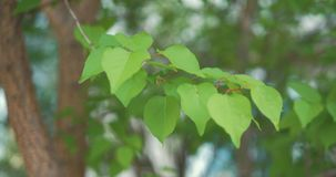 Green leaves are highlighted by sun. Beautiful natural green sunshine bokeh background. Green leaves are highlighted by sun. Beautiful natural green sunshine stock video